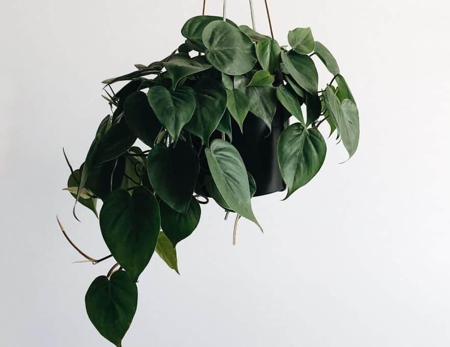 نبات البوتس